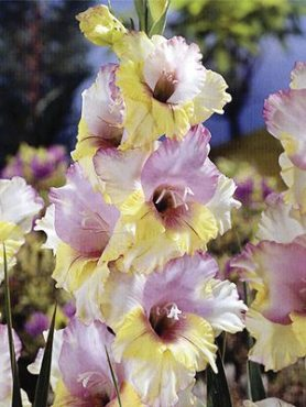 Гладиолус садовый Mon Amour (5 шт)