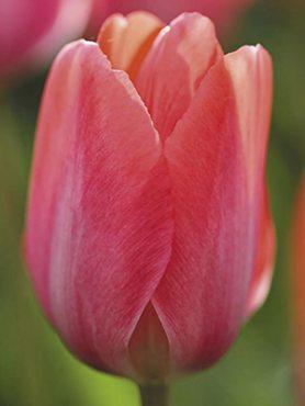 Тюльпани Дарвінові гібриди Van Eijk 12/+ (500 шт)