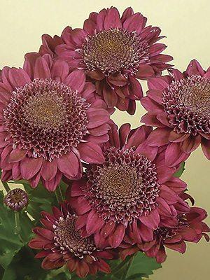 Хризантема срезочная Sagan® Purple (3 шт) - 1