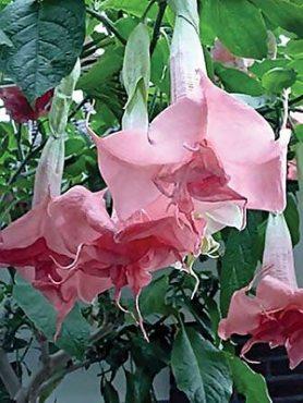 Бругмансия чудова, махрова рожева (1 шт)