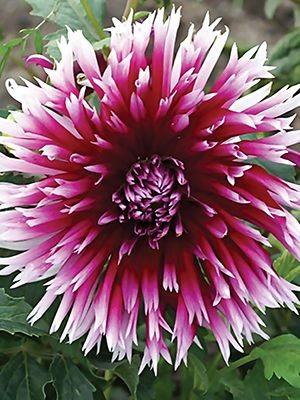Георгина кактусовая бахромчатая Alauna Clair-Obscur (1 шт) - 1