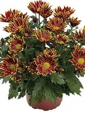 Хризантема горшечная Sawadee (3 шт)
