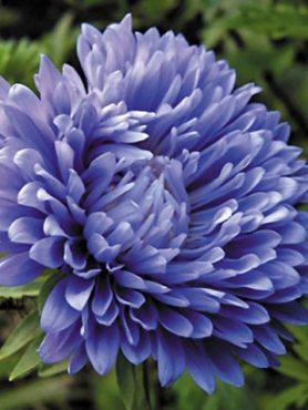 Астра однорічна Colour Carpet, низькоросла темно-блакитна (0,30 г)
