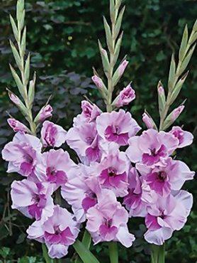 Гладиолус садовый Sacramento (5 шт)
