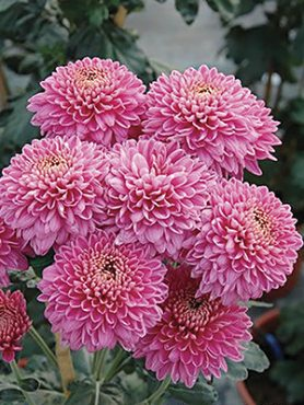 Хризантема срезочная Blenda Purple (3 шт)