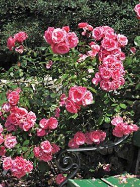 Роза в'юнка Etude (1 шт)
