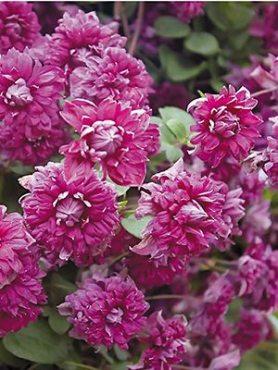 Клематис фиолетовый Purpurea Plena Elegans (1 шт)