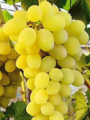 Виноград Виктория белая (1 шт) - 1