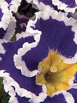 Первоцвіт звичайний (акауліс) Coco Blue F1 - 1